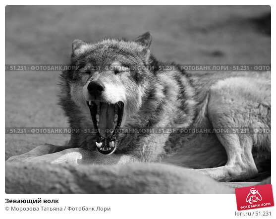 Купить «Зевающий волк», фото № 51231, снято 31 марта 2007 г. (c) Морозова Татьяна / Фотобанк Лори