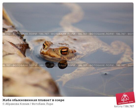Жаба обыкновенная плавает в озере, фото № 186787, снято 28 апреля 2006 г. (c) Абрамова Ксения / Фотобанк Лори