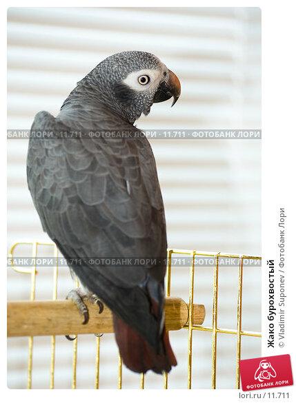 Жако бурохвостый, фото № 11711, снято 29 июня 2006 г. (c) Vladimir Suponev / Фотобанк Лори