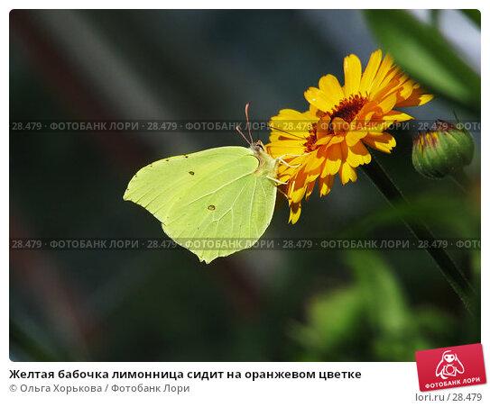 Желтая бабочка лимонница сидит на оранжевом цветке, фото № 28479, снято 24 июля 2006 г. (c) Ольга Хорькова / Фотобанк Лори