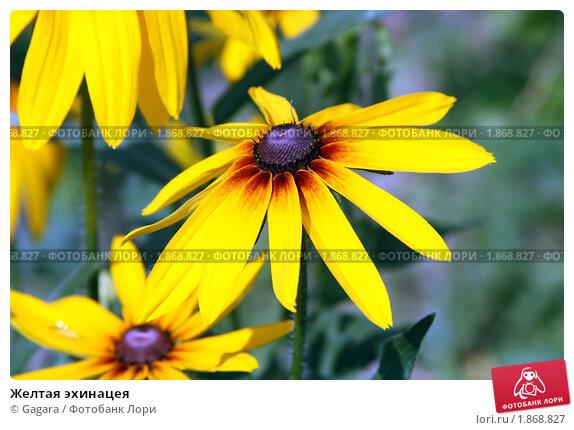 Купить «Желтая эхинацея», фото № 1868827, снято 24 июля 2010 г. (c) Gagara / Фотобанк Лори
