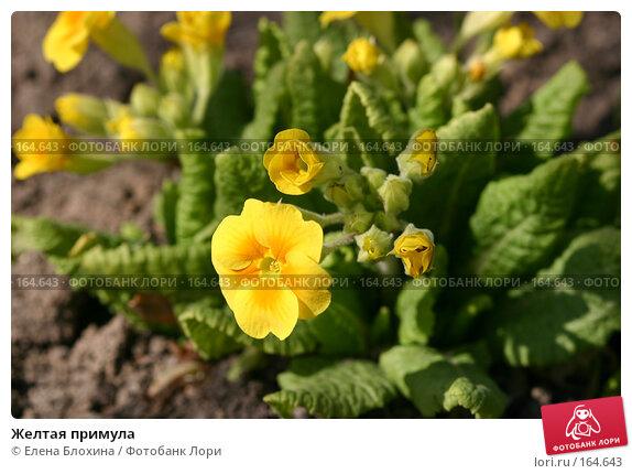 Желтая примула, фото № 164643, снято 20 апреля 2007 г. (c) Елена Блохина / Фотобанк Лори