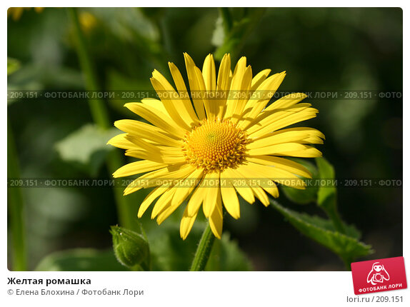 Желтая ромашка, фото № 209151, снято 14 мая 2007 г. (c) Елена Блохина / Фотобанк Лори