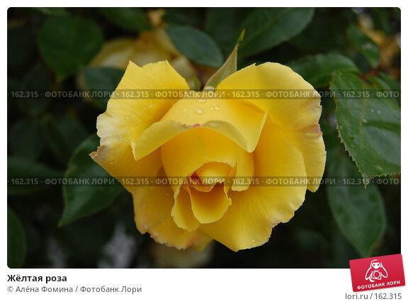 Жёлтая роза, фото № 162315, снято 25 мая 2006 г. (c) Алёна Фомина / Фотобанк Лори