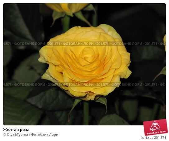 Желтая роза, фото № 201571, снято 18 ноября 2007 г. (c) Olya&Tyoma / Фотобанк Лори