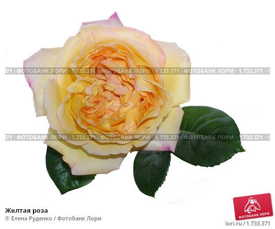 Купить «Желтая роза», фото № 1733371, снято 3 июня 2008 г. (c) Елена Руденко / Фотобанк Лори