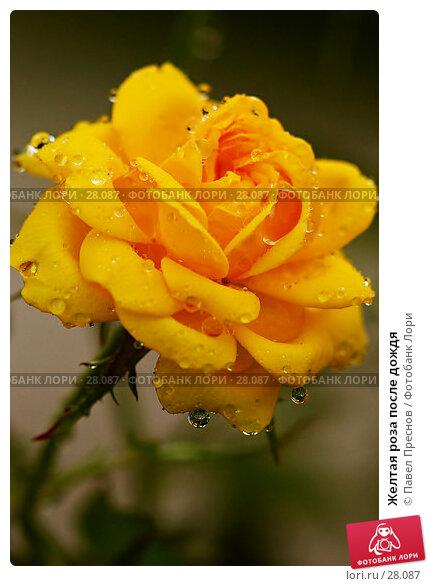 Желтая роза после дождя, фото № 28087, снято 8 сентября 2006 г. (c) Павел Преснов / Фотобанк Лори