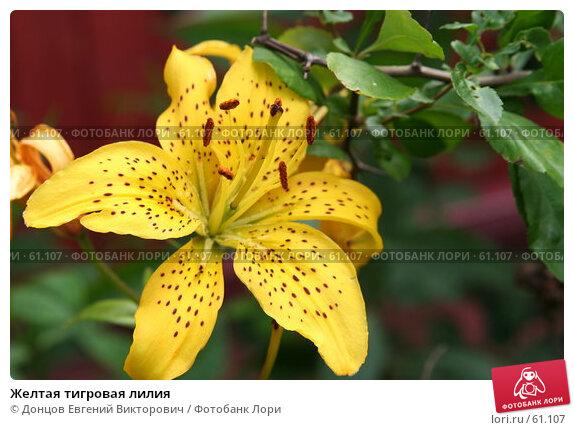 Купить «Желтая тигровая лилия», фото № 61107, снято 10 июля 2007 г. (c) Донцов Евгений Викторович / Фотобанк Лори