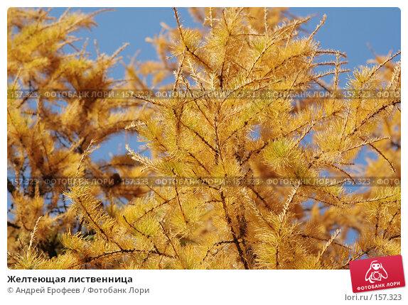 Желтеющая лиственница, фото № 157323, снято 12 октября 2005 г. (c) Андрей Ерофеев / Фотобанк Лори