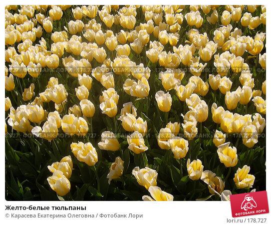 Желто-белые тюльпаны, фото № 178727, снято 3 января 2005 г. (c) Карасева Екатерина Олеговна / Фотобанк Лори