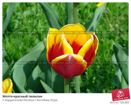Жёлто-красный тюльпан, фото № 126203, снято 29 мая 2007 г. (c) Кардаполова Наталья / Фотобанк Лори