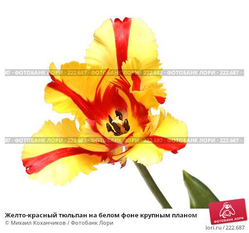 Желто-красный тюльпан на белом фоне крупным планом, фото № 222687, снято 8 марта 2008 г. (c) Михаил Коханчиков / Фотобанк Лори