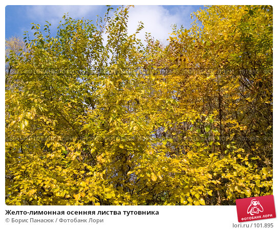 Желто-лимонная осенняя листва тутовника, фото № 101895, снято 29 сентября 2006 г. (c) Борис Панасюк / Фотобанк Лори