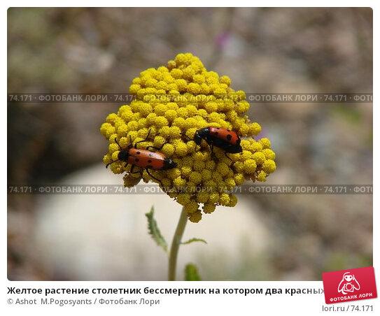 Желтое растение столетник бессмертник на котором два красных жучка, фото № 74171, снято 7 июля 2007 г. (c) Ashot  M.Pogosyants / Фотобанк Лори