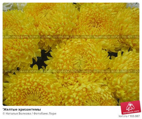 'Желтые хризантемы, фото № 103087, снято 8 марта 2017 г. (c) Наталья Волкова / Фотобанк Лори