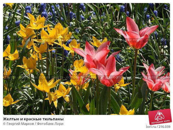 Желтые и красные тюльпаны, фото № 216039, снято 18 мая 2007 г. (c) Георгий Марков / Фотобанк Лори