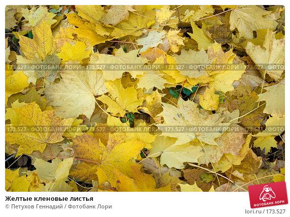 Желтые кленовые листья, фото № 173527, снято 27 октября 2007 г. (c) Петухов Геннадий / Фотобанк Лори