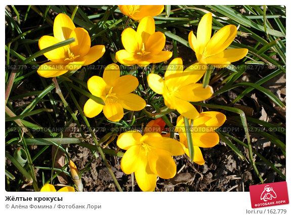Жёлтые крокусы, фото № 162779, снято 19 марта 2006 г. (c) Алёна Фомина / Фотобанк Лори