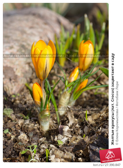 Желтые крокусы (лат. Crocus) зацветают в саду. Стоковое фото, фотограф Елена Коромыслова / Фотобанк Лори