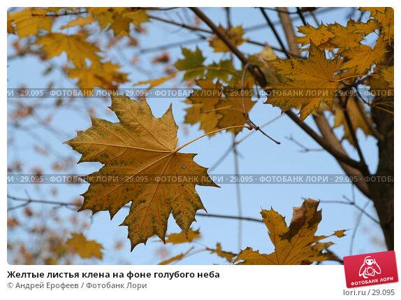 Желтые листья клена на фоне голубого неба, фото № 29095, снято 30 сентября 2005 г. (c) Андрей Ерофеев / Фотобанк Лори