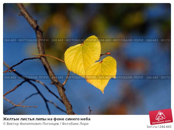 Желтые листья липы на фоне синего неба, фото № 244443, снято 13 ноября 2007 г. (c) Виктор Филиппович Погонцев / Фотобанк Лори