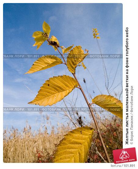 Купить «Желтые листья маленькой ветки на фоне голубого небо», фото № 101891, снято 29 сентября 2006 г. (c) Борис Панасюк / Фотобанк Лори