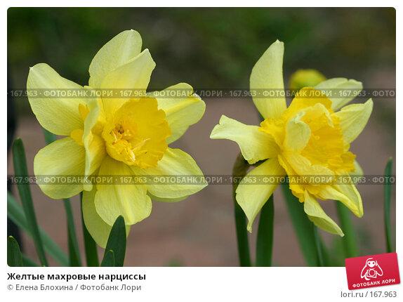 Купить «Желтые махровые нарциссы», фото № 167963, снято 28 апреля 2007 г. (c) Елена Блохина / Фотобанк Лори