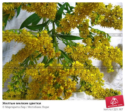 Желтые мелкие цветки, фото № 221187, снято 3 сентября 2006 г. (c) Маргарита Лир / Фотобанк Лори