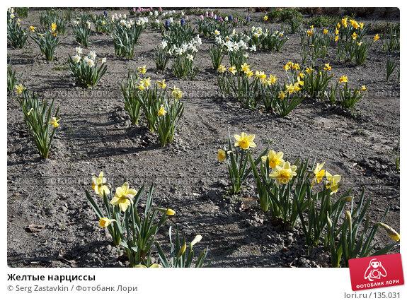 Желтые нарциссы, фото № 135031, снято 22 мая 2006 г. (c) Serg Zastavkin / Фотобанк Лори