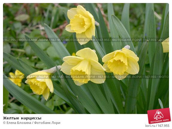 Желтые  нарциссы, фото № 167955, снято 27 апреля 2007 г. (c) Елена Блохина / Фотобанк Лори