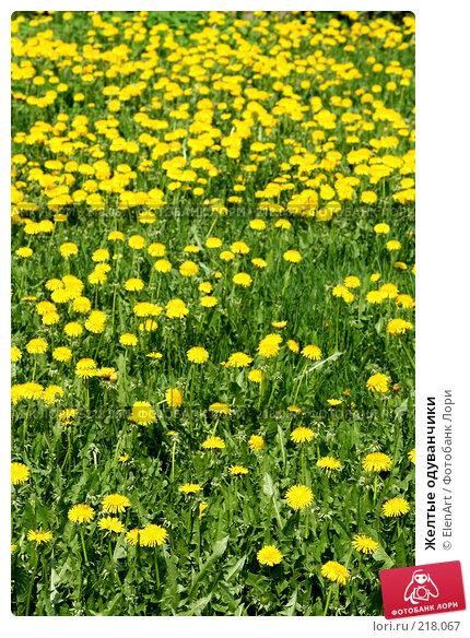 Желтые одуванчики, фото № 218067, снято 22 февраля 2017 г. (c) ElenArt / Фотобанк Лори