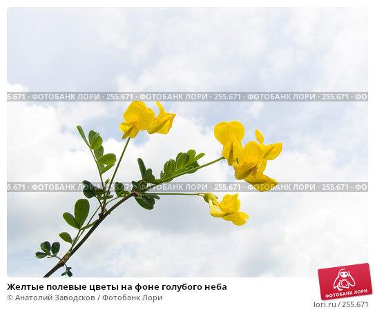 Купить «Желтые полевые цветы на фоне голубого неба», фото № 255671, снято 22 мая 2006 г. (c) Анатолий Заводсков / Фотобанк Лори