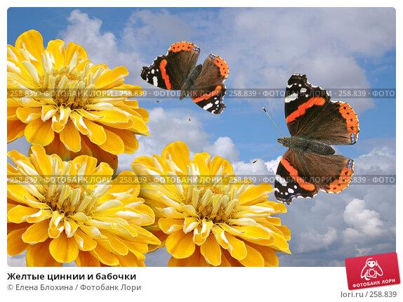 Желтые циннии и бабочки, фото № 258839, снято 24 апреля 2007 г. (c) Елена Блохина / Фотобанк Лори