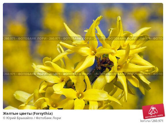 Желтые цветы (Forsythia), фото № 260971, снято 11 апреля 2008 г. (c) Юрий Брыкайло / Фотобанк Лори