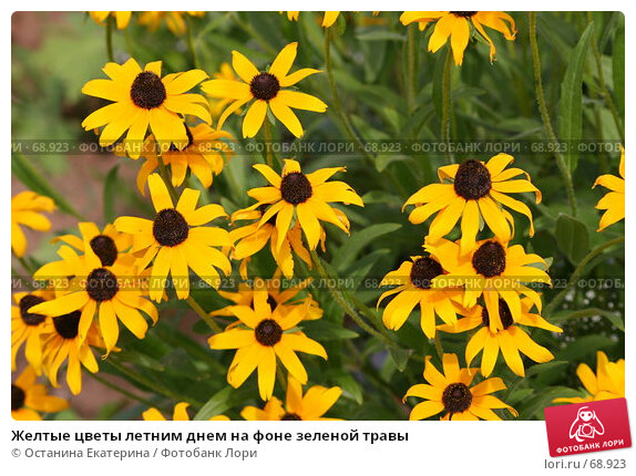 Желтые цветы летним днем на фоне зеленой травы, фото № 68923, снято 24 июля 2007 г. (c) Останина Екатерина / Фотобанк Лори