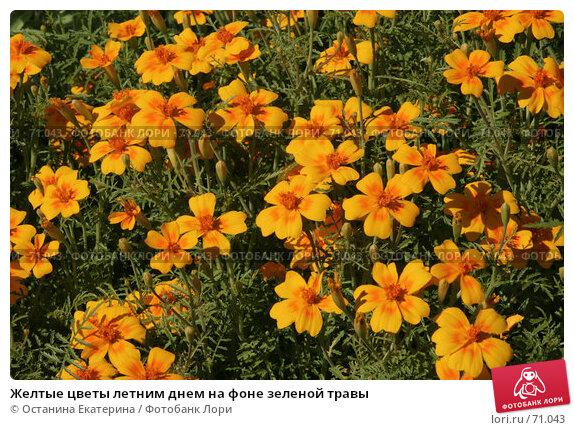 Желтые цветы летним днем на фоне зеленой травы, фото № 71043, снято 12 августа 2007 г. (c) Останина Екатерина / Фотобанк Лори