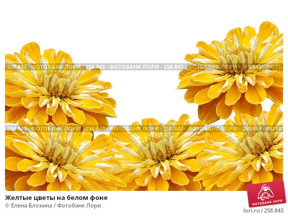 Желтые цветы на белом фоне, фото № 258843, снято 24 апреля 2007 г. (c) Елена Блохина / Фотобанк Лори