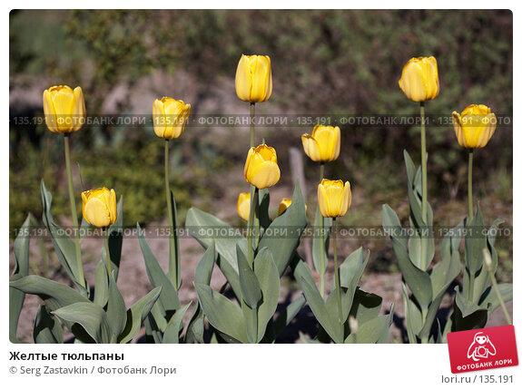 Желтые тюльпаны, фото № 135191, снято 31 мая 2006 г. (c) Serg Zastavkin / Фотобанк Лори