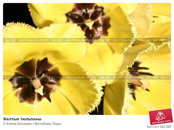 Желтые тюльпаны, фото № 162587, снято 9 мая 2007 г. (c) Елена Блохина / Фотобанк Лори