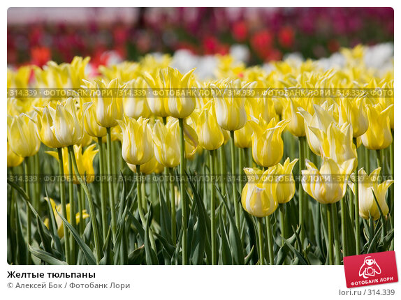 Желтые тюльпаны, фото № 314339, снято 9 мая 2008 г. (c) Алексей Бок / Фотобанк Лори