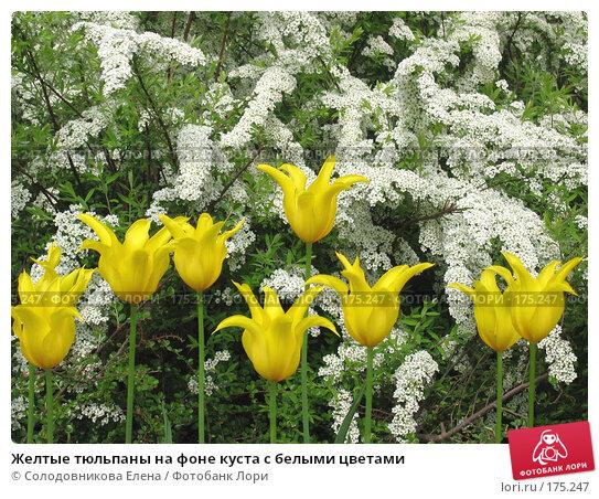 Желтые тюльпаны на фоне куста сбелыми цветами, фото № 175247, снято 21 мая 2005 г. (c) Солодовникова Елена / Фотобанк Лори