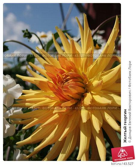 Желтый георгин, фото № 43527, снято 18 августа 2006 г. (c) Донцов Евгений Викторович / Фотобанк Лори