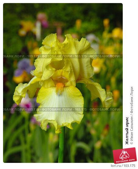 Купить «Желтый ирис», фото № 103175, снято 20 апреля 2018 г. (c) Иван Сазыкин / Фотобанк Лори