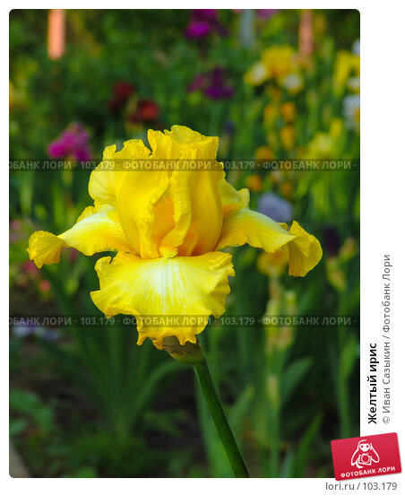 Купить «Желтый ирис», фото № 103179, снято 20 апреля 2018 г. (c) Иван Сазыкин / Фотобанк Лори