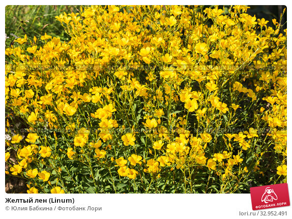 Желтый лен (Linum) Стоковое фото, фотограф Юлия Бабкина / Фотобанк Лори