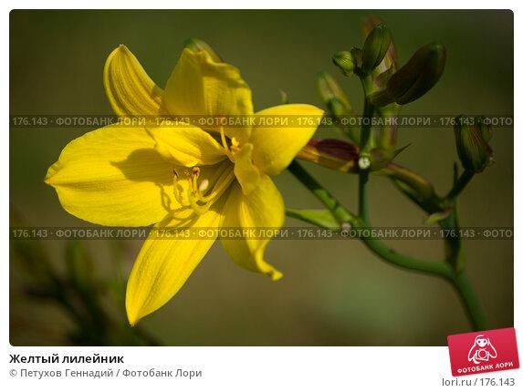 Купить «Желтый лилейник», фото № 176143, снято 24 июля 2007 г. (c) Петухов Геннадий / Фотобанк Лори