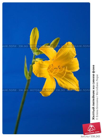 Желтый лилейник на синем фоне, фото № 338243, снято 15 июня 2008 г. (c) Елена Блохина / Фотобанк Лори