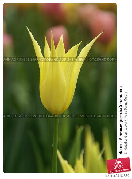 Желтый лилиецветный тюльпан, эксклюзивное фото № 318359, снято 8 апреля 2008 г. (c) Natalia Nemtseva / Фотобанк Лори