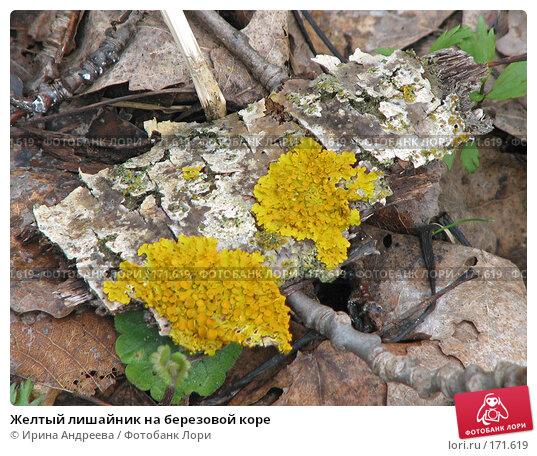 Купить «Желтый лишайник на березовой коре», фото № 171619, снято 29 апреля 2007 г. (c) Ирина Андреева / Фотобанк Лори