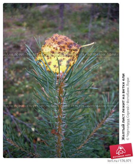 Желтый лист лежит на ветке ели, фото № 176971, снято 21 августа 2007 г. (c) Чертопруд Сергей / Фотобанк Лори